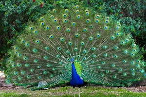 Peacock Tail